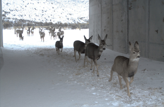 Crossing structures for migratory mule deer